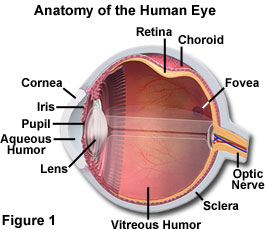 the function of the human eye essay